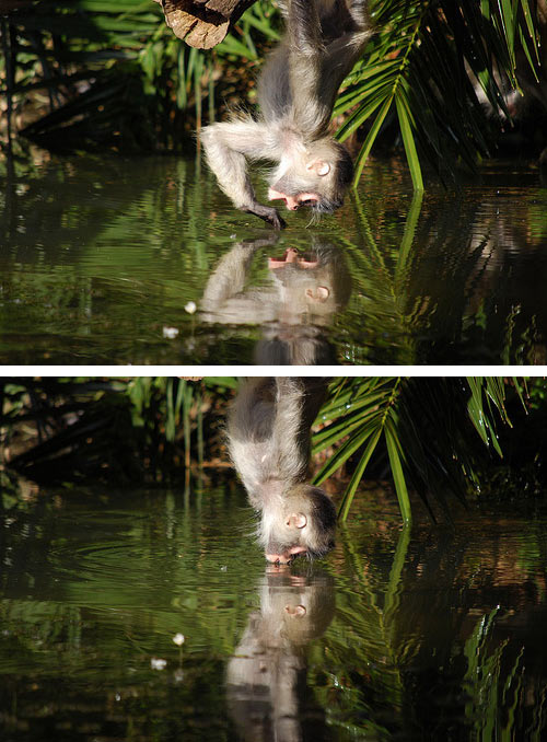 funny-monkey-water-reflection-brother-smiling-kiss