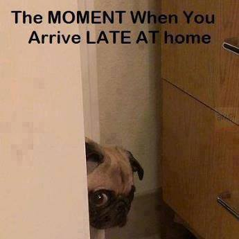 funny-pug-guilty-arriving-late-at-home