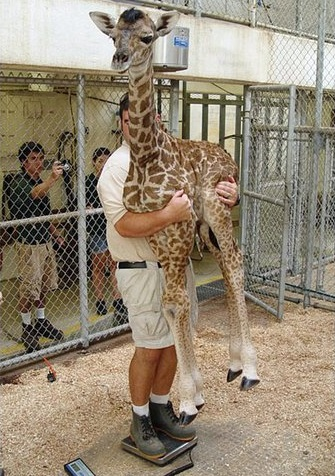 funny-pictures-how-to-weight-a-baby-giraffe