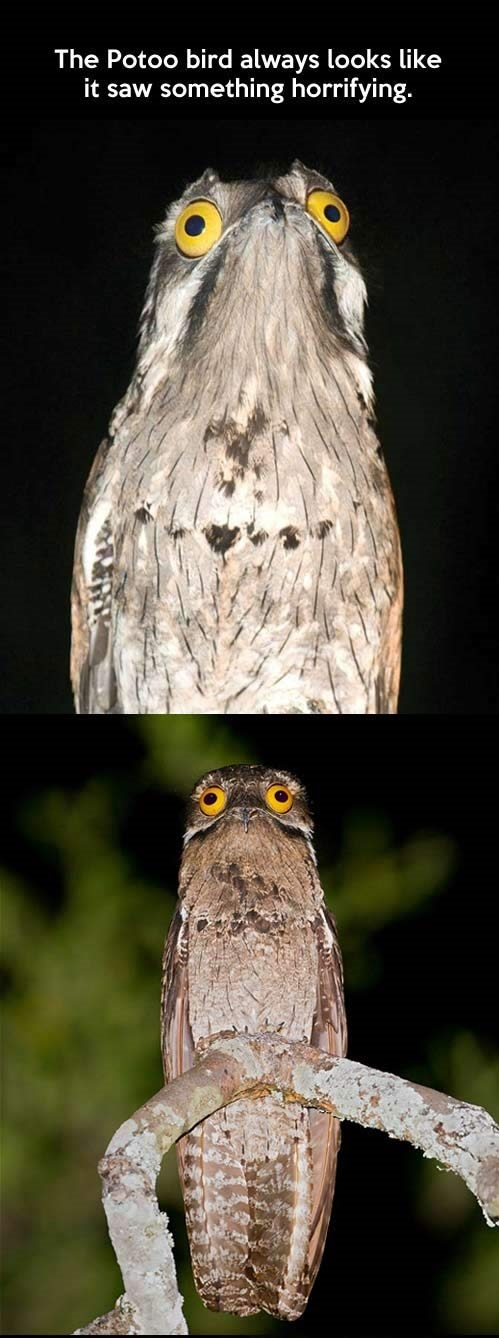 funny-pictures-bird-potoo-compilation