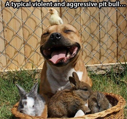 funny-pictures-typical-violent-and-aggressive-pit-bull