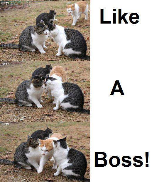 funny-picturescats-like-a-boss