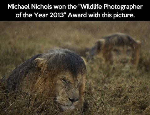 great-photography-wildlife-lions