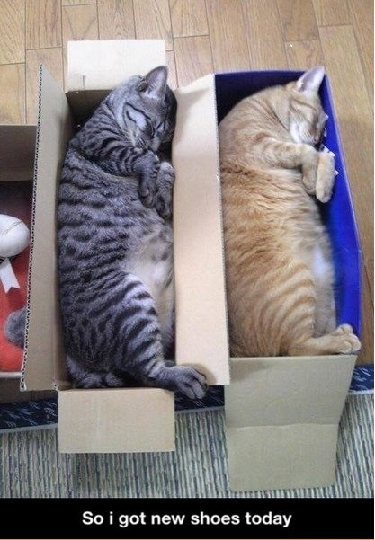 funny-picture-cats-shoes-box