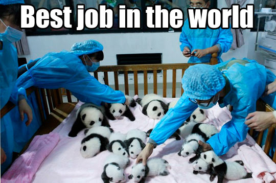 funny-picture-cute-panda-babies-best-job