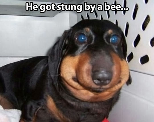 funny-picture-dog-bee-stung