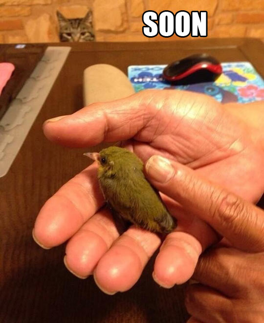 funny-picture-soon-cat-bird-little