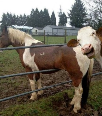 funny-picture-cow-horse-stuck