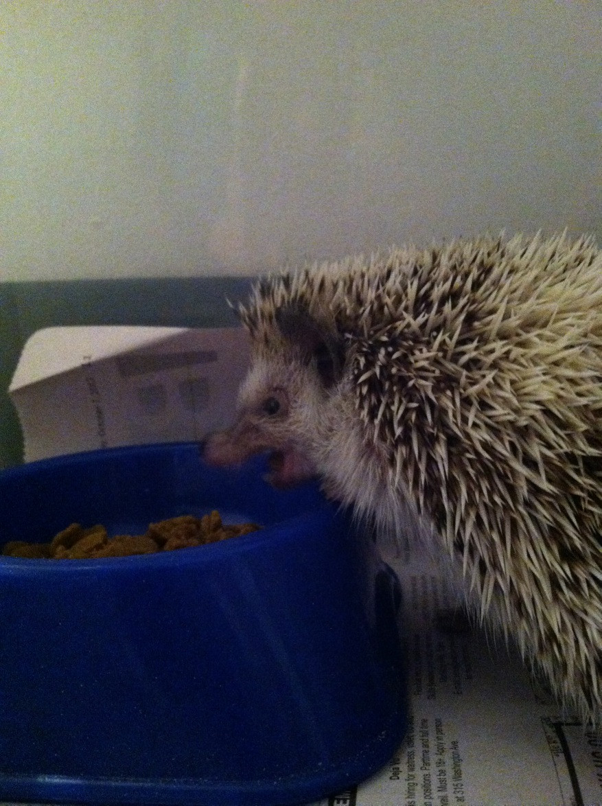 funny-picture-hedgehogs-can-be-evil-too