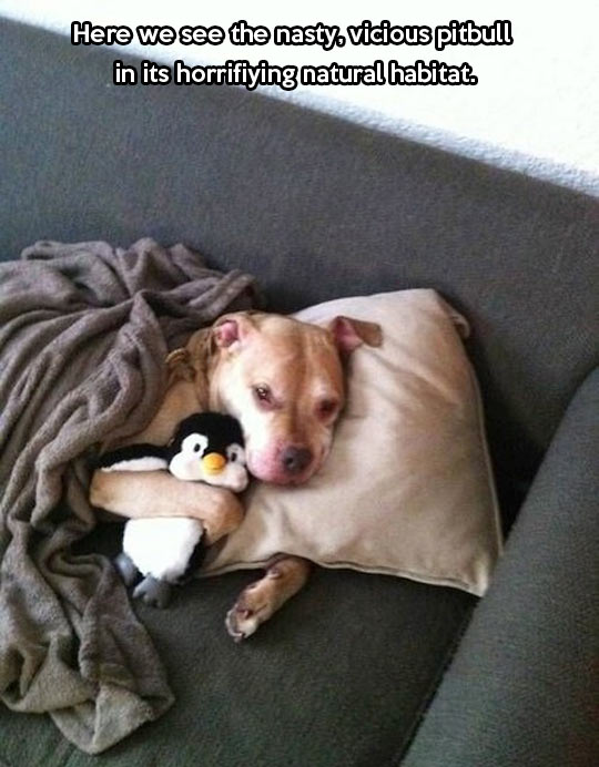 funny-picture-pitbull-couch-toy-penguin