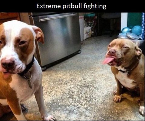 funny-picture-pitbull-fighting