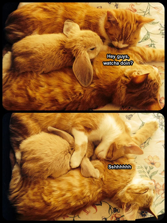 funny-picture-cats-asleep-rabbit-animals