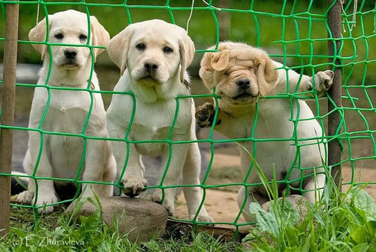 funny-picture-looking-dogs-web-fence-head-stock