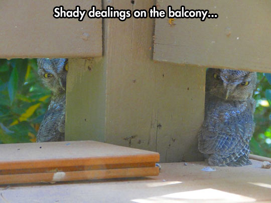 funny-picture-balcony-hidden-owls-staring-crazy-looks