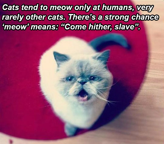 funny-picture-cat-meow-meaning-human-slave