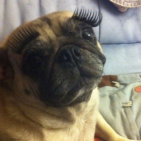 funny-picture-dog-pug-eye-lashes
