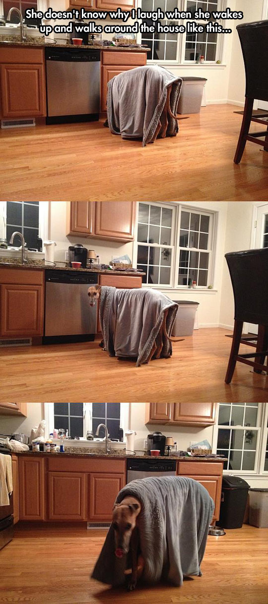 funny-picture-dog-walking-blanket-kitchen