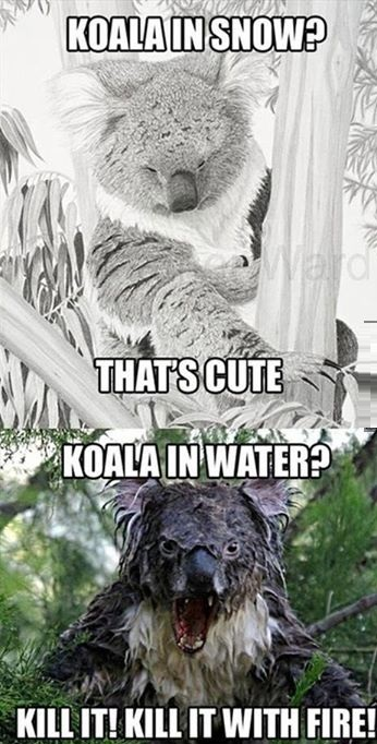 funny-picture-koala-snow-water