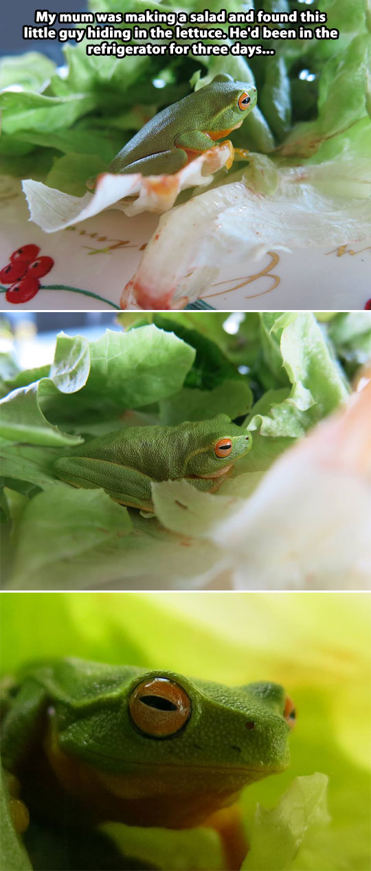 funny-picture-lettuce-frog-cute-refrigerator