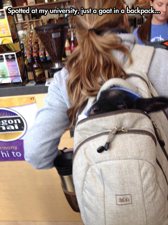 funny-picture-university-goat-backpack-girl