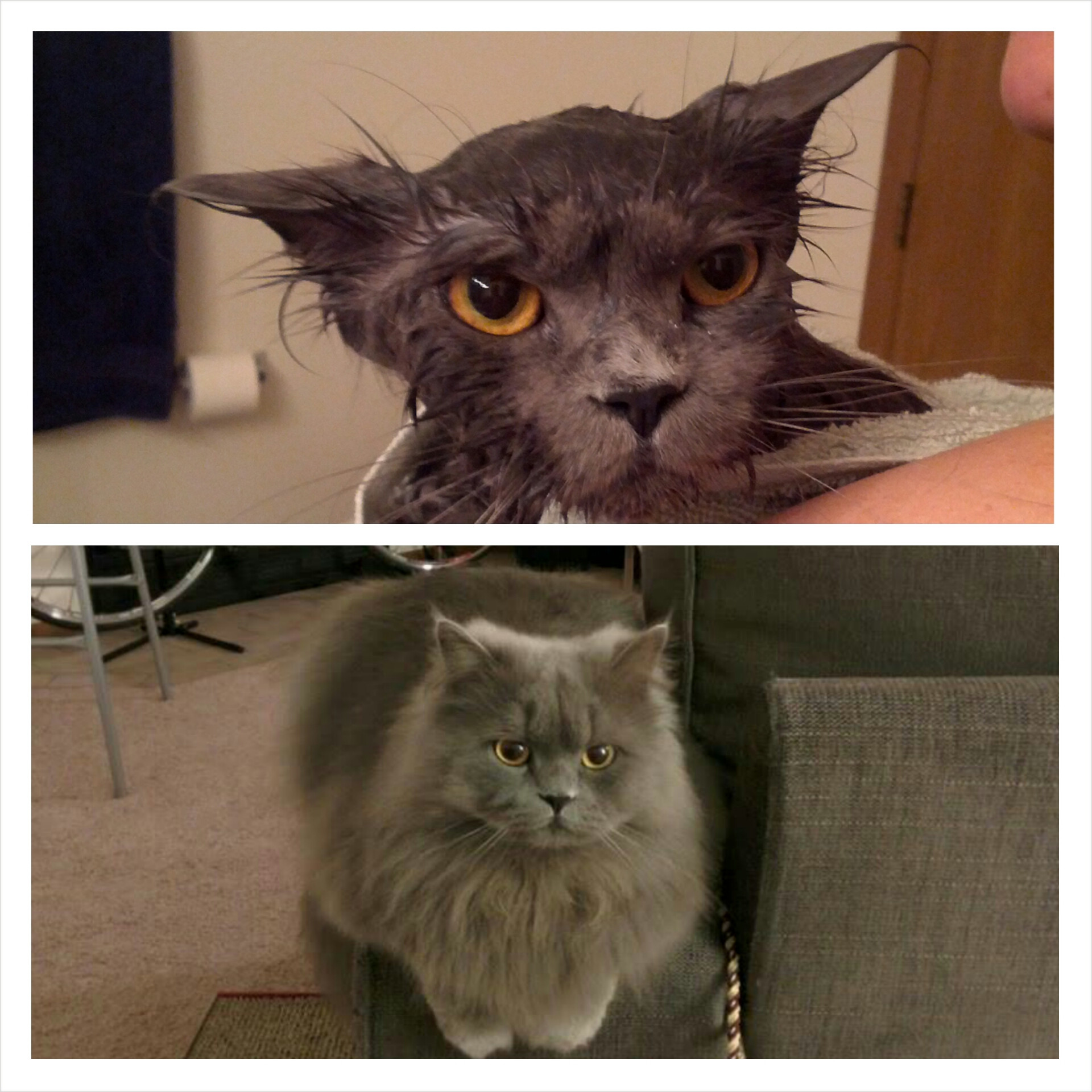 funny-picture-cat-bath-before-after