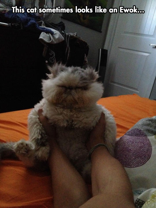 funny-picture-cat-fur-bed-Ewok