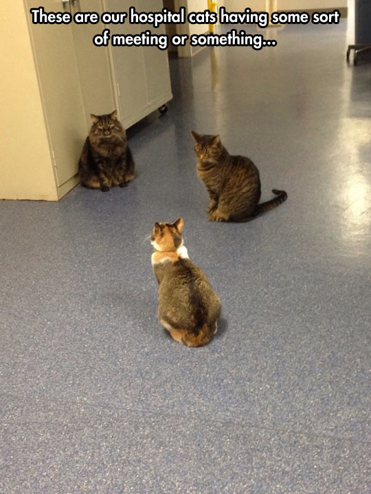 funny-picture-cats-meeting-hospital-hall