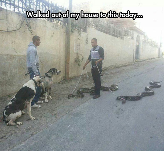 funny-picture-man-walking-snakes-street-dogs