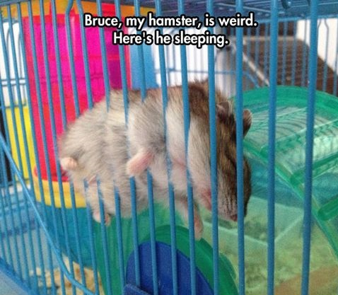 funny-picture-sleeping-hamster