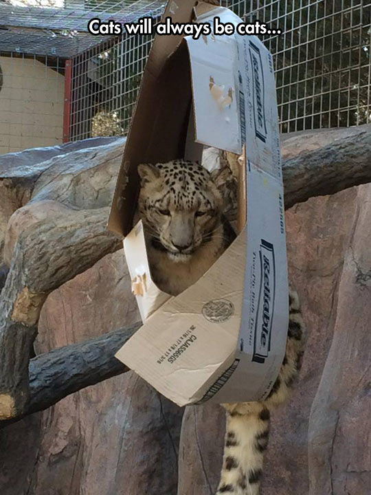 funny-picture-Snow-Leopard-cardboard-box-tail-tree