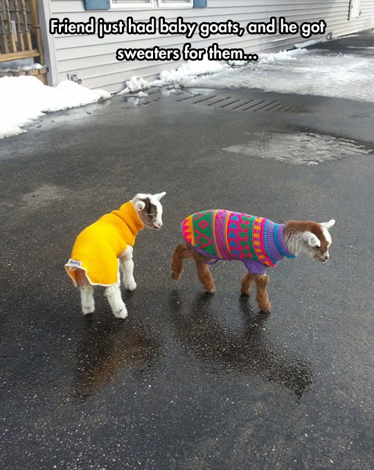 funny-picture-baby-goat-sweater-cute