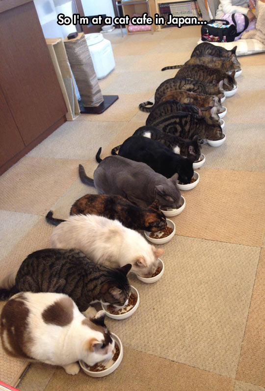funny-picture-cat-cafe-Japan-eating