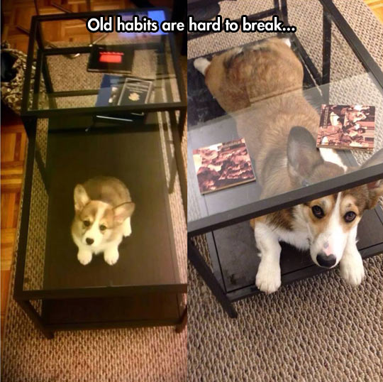 funny-picture-corgi-dog-table-small
