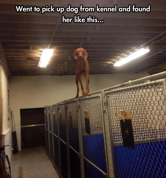 funny-picture-dog-equilibrist-fence-gym
