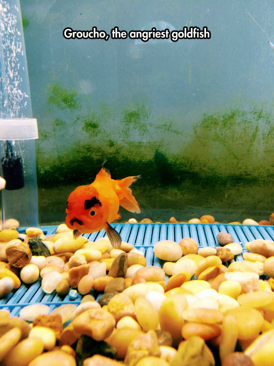 funny-picture-goldfish-angry-Groucho-tank