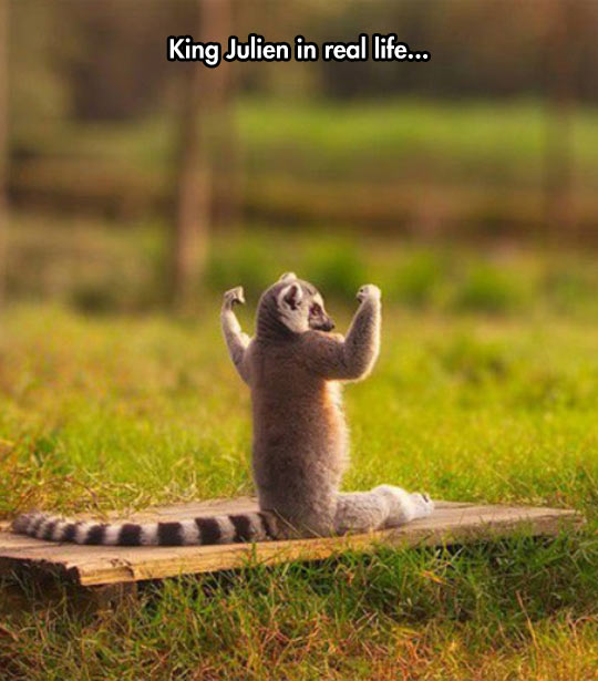 funny-picture-lemur-King-Julien-real-life