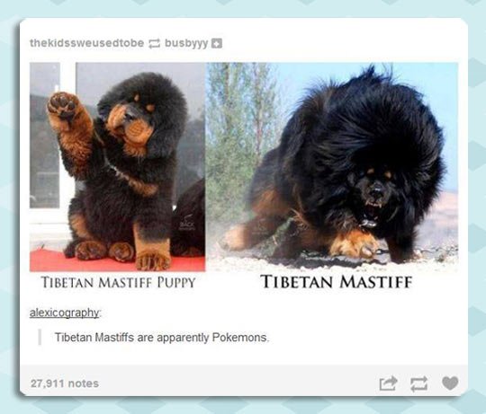 funny-picture0Tibetan-Mastiff-baby-grown-up-difference