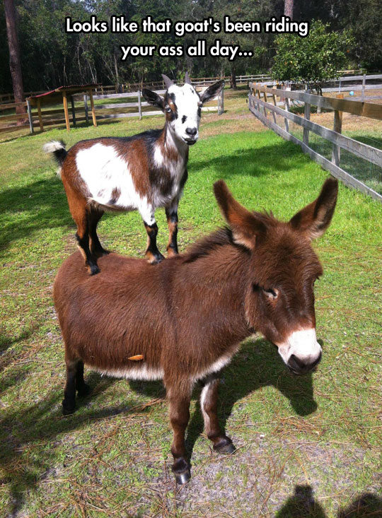 funny-picture-goat-standing-donkey-back-farm