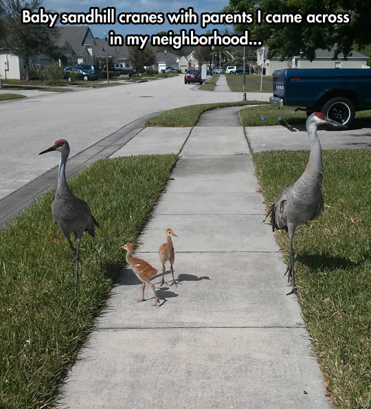 funny-picture-sandhill-baby-neighborhood-walking