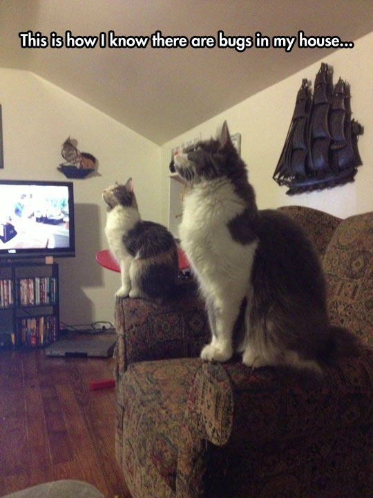funny-picture-cats-staring-roof-couch