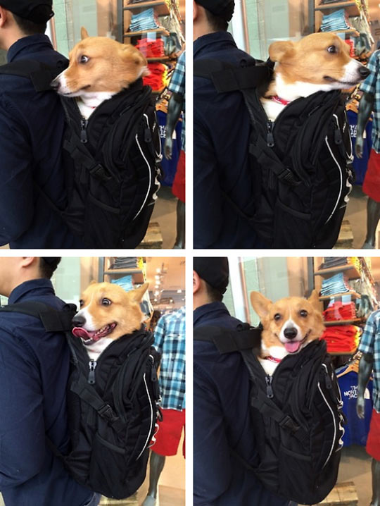funny-picture-corgi-dog-backpack-happy