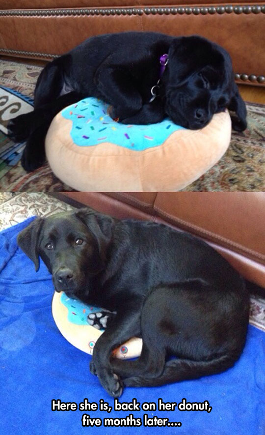 funny-picture-growing-dog-donut-couch