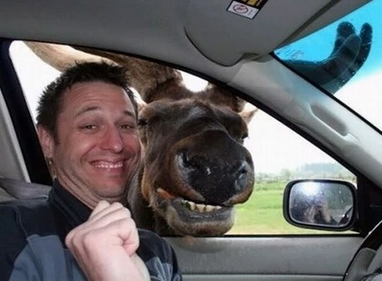 funny-picture-moose-car-photobomb-smile