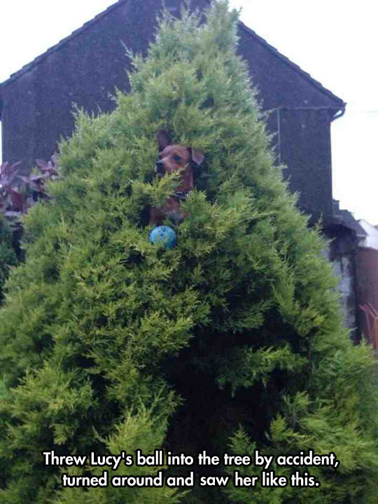 funny-picture-Lucy-ball-tree-dog-stuck
