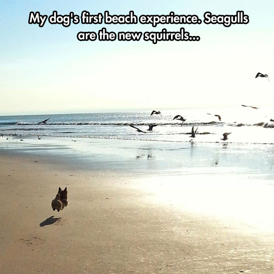 funny-picture-dog-running-beach-seagulls