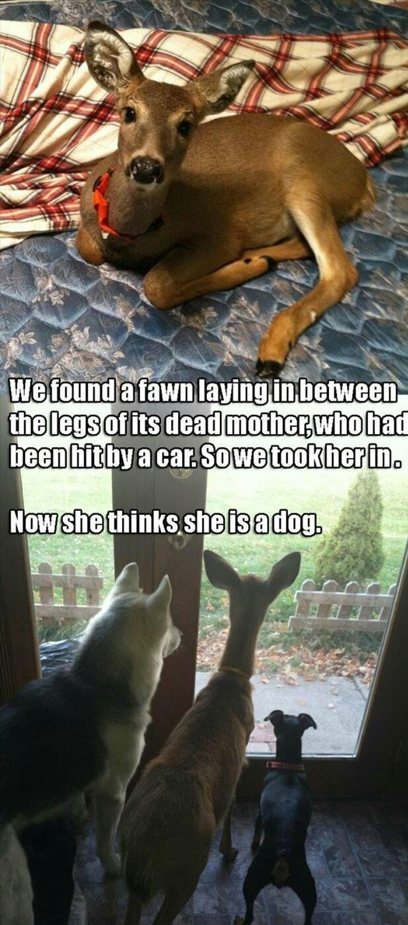 funny-fawn-dogs-pet