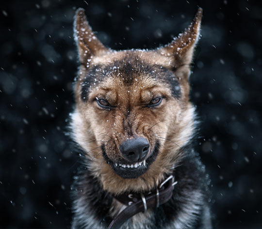 cool-dog-intimidate-teeth-snow