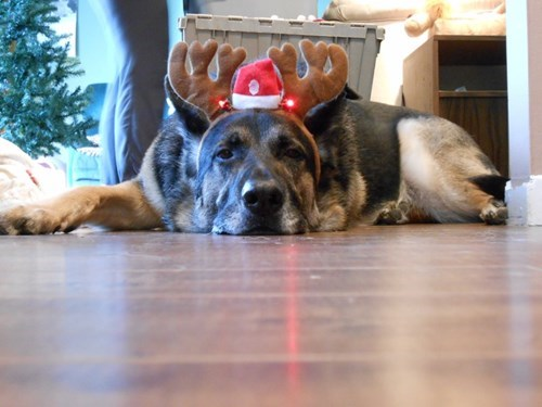 funny-dog-chrostmas-hat