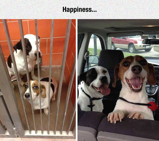funny-dogs-shelter-adoption-car