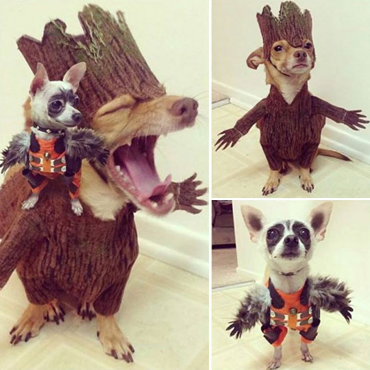 cute-dogs-Guardians-Galaxy-costumes